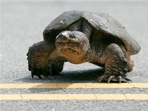 turtle-crossing-road